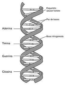 220px-ADN